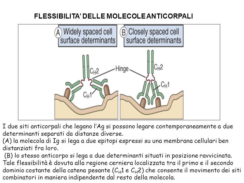 FLESSIBILITA' DELLE MOLECOLE ANTICORPALI