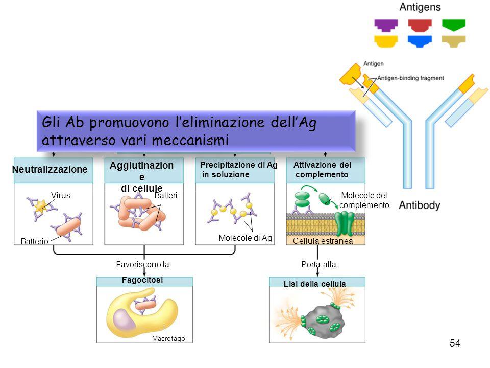 Attivazione del complemento inattiva gli antigeni tramite