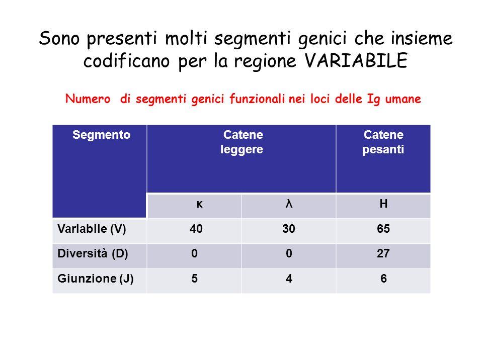 Sono presenti molti segmenti genici che insieme codificano per la regione VARIABILE