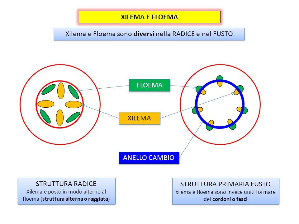 Xilema e Floema sono diversi nella RADICE e nel FUSTO