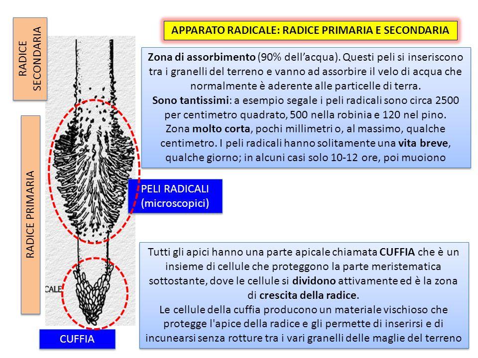 APPARATO RADICALE: RADICE PRIMARIA E SECONDARIA