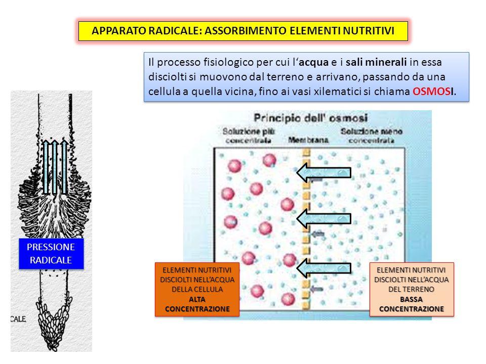 APPARATO RADICALE: ASSORBIMENTO ELEMENTI NUTRITIVI