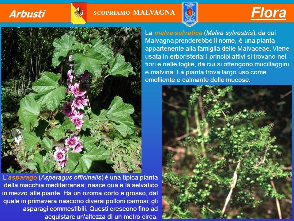 Flora Arbusti. SCOPRIAMO MALVAGNA.