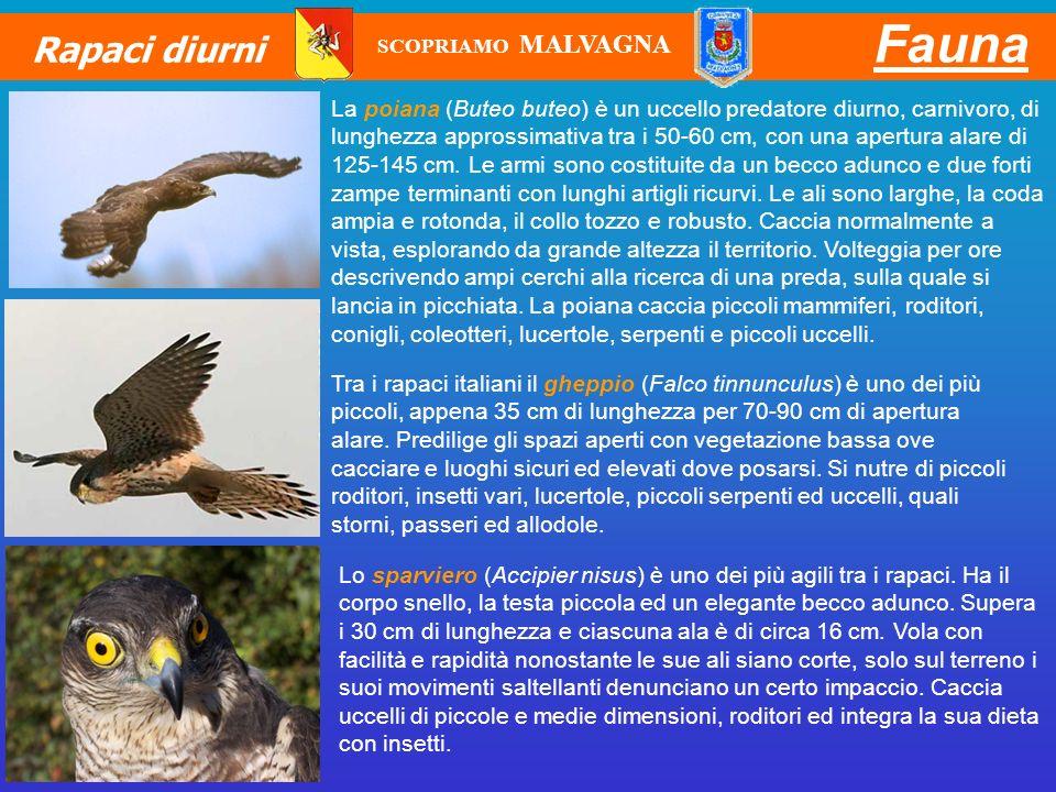 Fauna Rapaci diurni. SCOPRIAMO MALVAGNA.