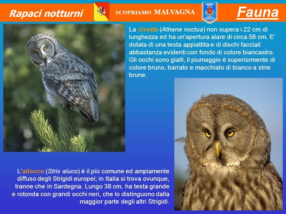 Fauna Rapaci notturni. SCOPRIAMO MALVAGNA.