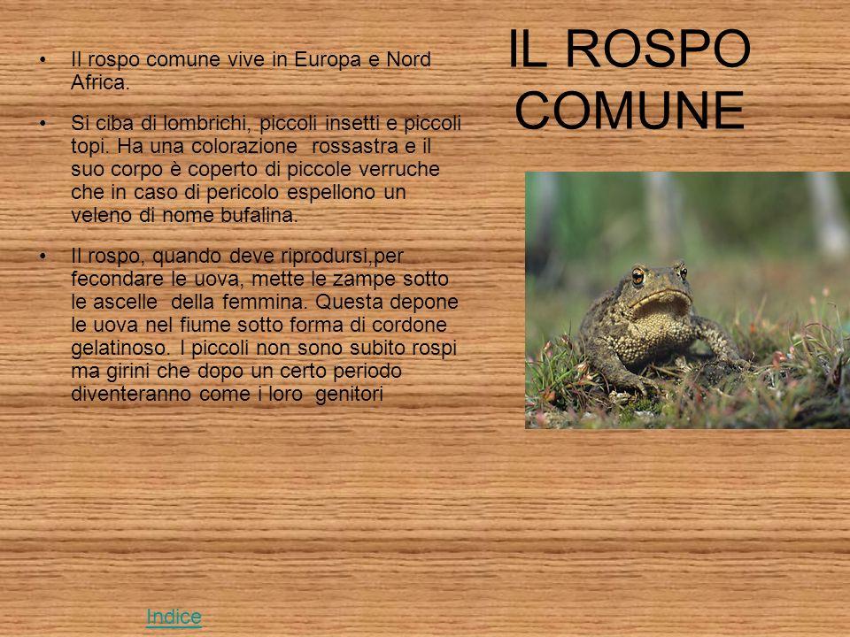 IL ROSPO COMUNE Il rospo comune vive in Europa e Nord Africa.