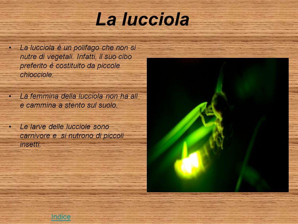 La lucciola La lucciola è un polifago che non si nutre di vegetali. Infatti, il suo cibo preferito è costituito da piccole chiocciole.