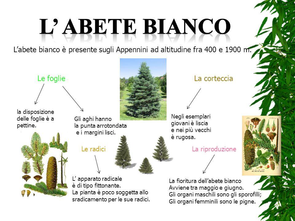 L' abete bianco L'abete bianco è presente sugli Appennini ad altitudine fra 400 e 1900 m. Le foglie.