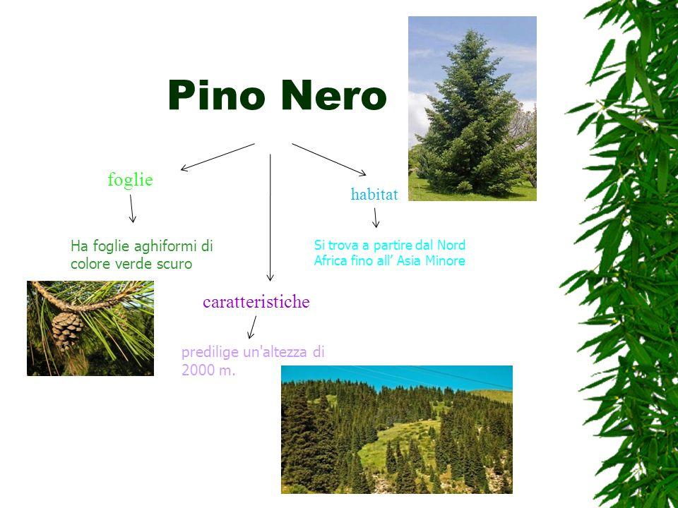 Pino Nero foglie caratteristiche habitat