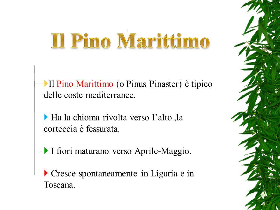 Il Pino Marittimo Il Pino Marittimo (o Pinus Pinaster) è tipico delle coste mediterranee.