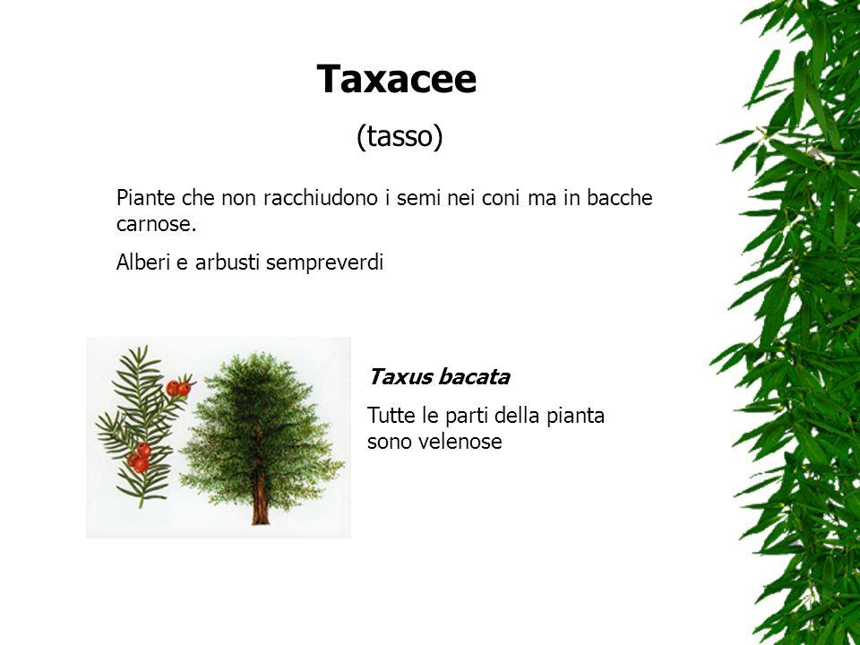 Taxacee (tasso) Piante che non racchiudono i semi nei coni ma in bacche carnose. Alberi e arbusti sempreverdi.