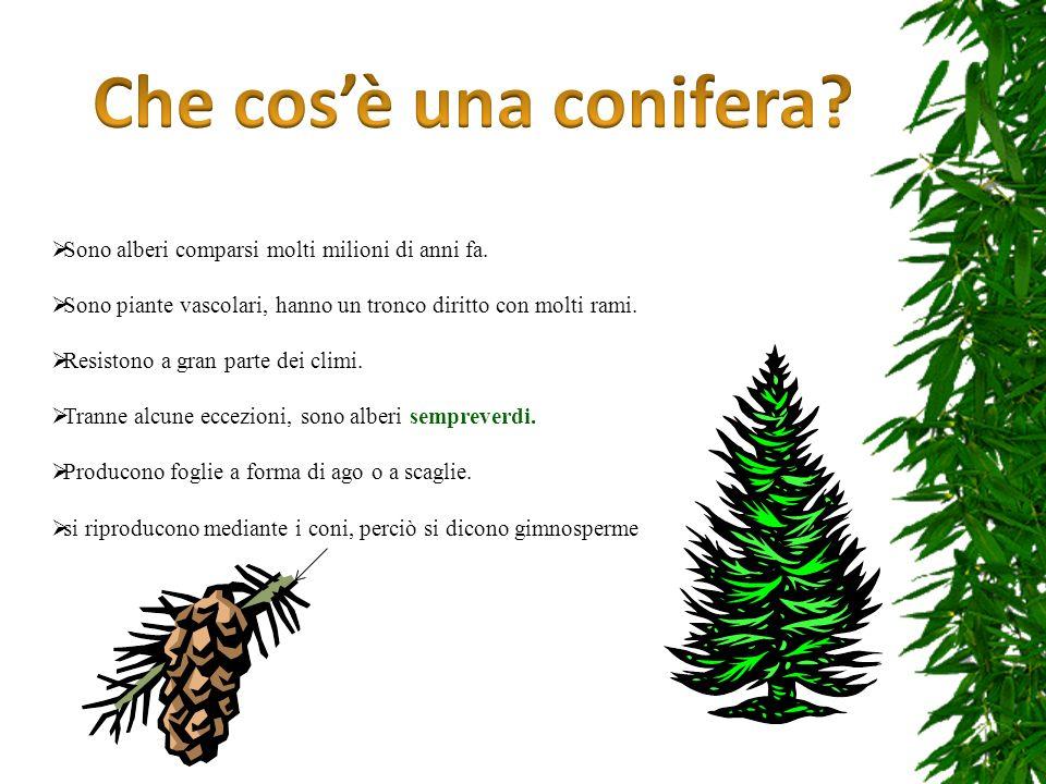 Che cos'è una conifera Sono alberi comparsi molti milioni di anni fa.
