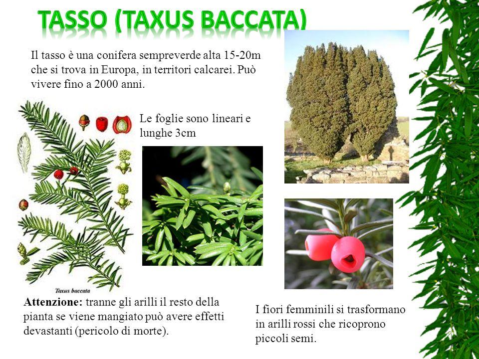 Tasso (taxus baccata) Il tasso è una conifera sempreverde alta 15-20m che si trova in Europa, in territori calcarei. Può vivere fino a 2000 anni.