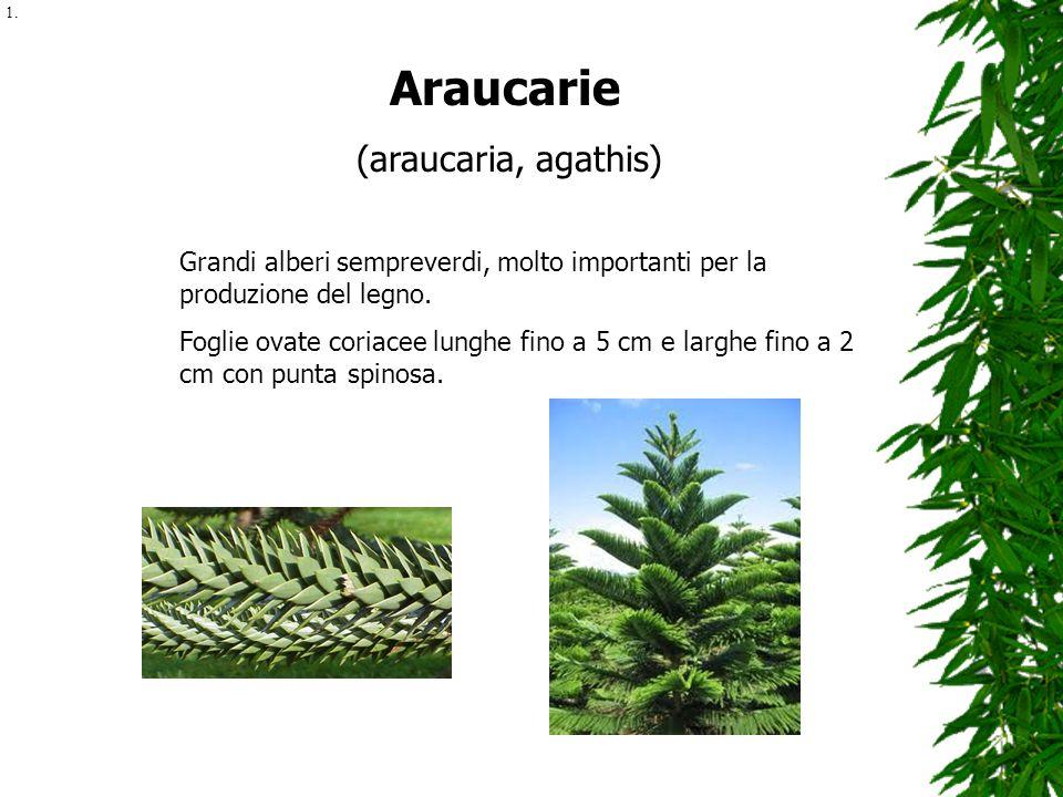Araucarie (araucaria, agathis)