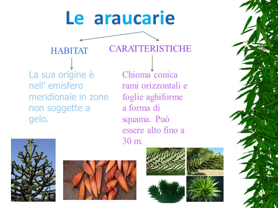 Le araucarie CARATTERISTICHE HABITAT