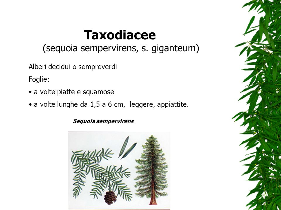 (sequoia sempervirens, s. giganteum)