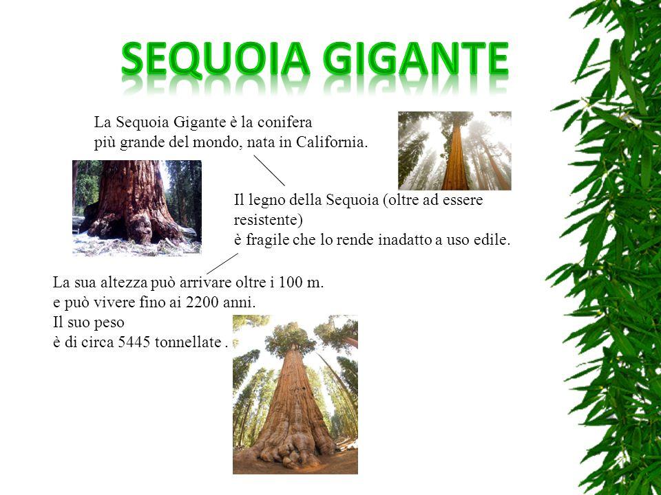 SEQUOIA GIGANTE La Sequoia Gigante è la conifera