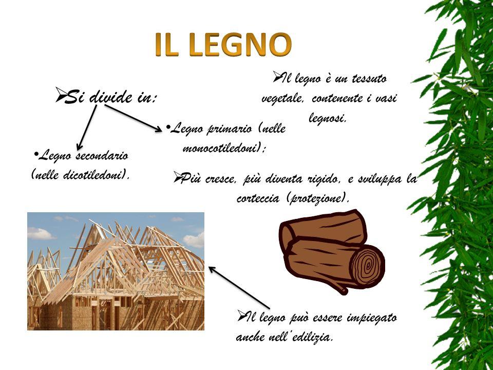 IL LEGNO Il legno è un tessuto vegetale, contenente i vasi legnosi. Si divide in: Legno primario (nelle monocotiledoni);