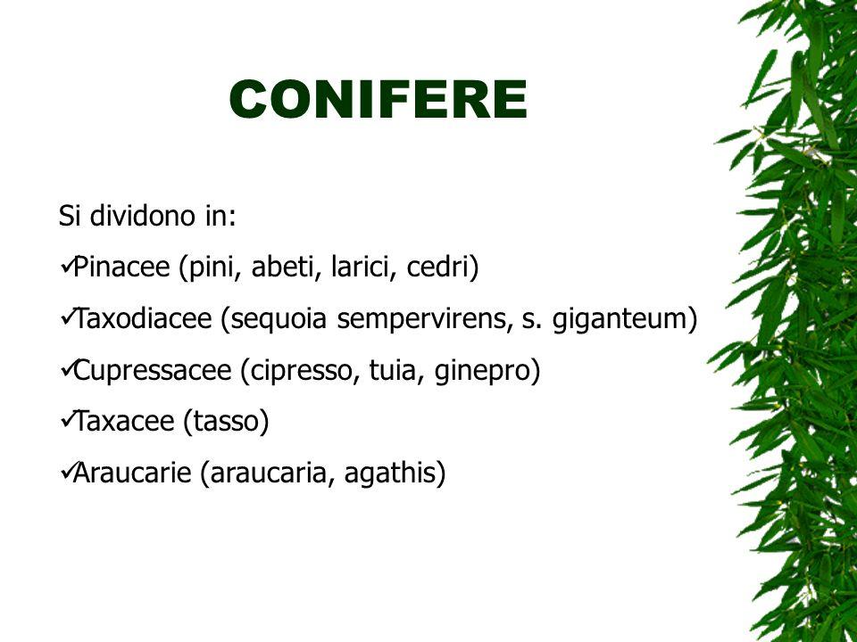 CONIFERE Si dividono in: Pinacee (pini, abeti, larici, cedri)