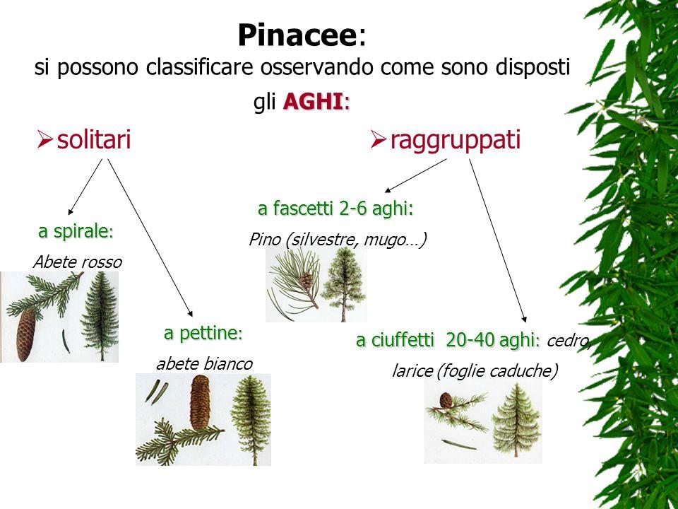Pinacee: si possono classificare osservando come sono disposti gli AGHI: