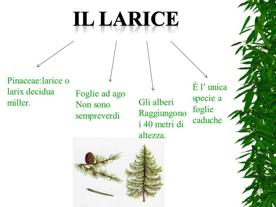 IL LARICE Pinaceae:larice o larix decidua miller.
