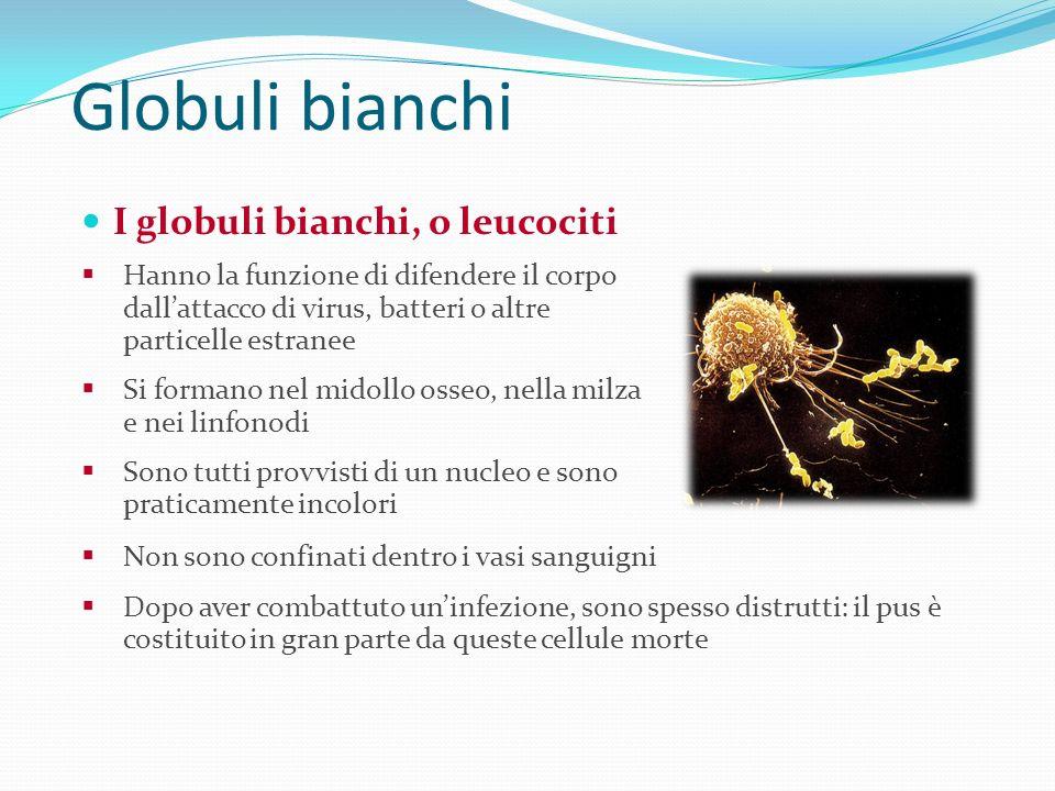 Globuli bianchi I globuli bianchi, o leucociti