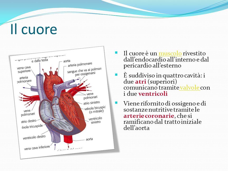 Il cuore Il cuore è un muscolo rivestito dall'endocardio all'interno e dal pericardio all'esterno.