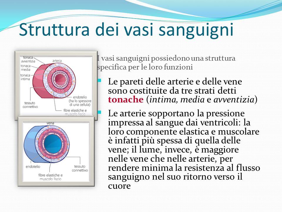 Struttura dei vasi sanguigni