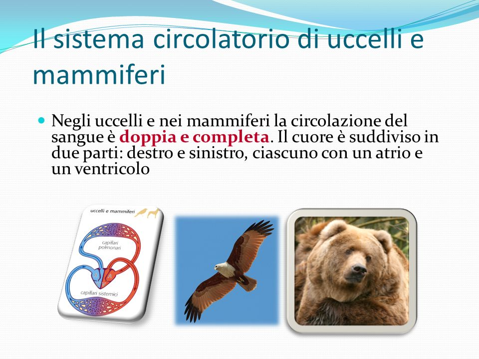 Il sistema circolatorio di uccelli e mammiferi