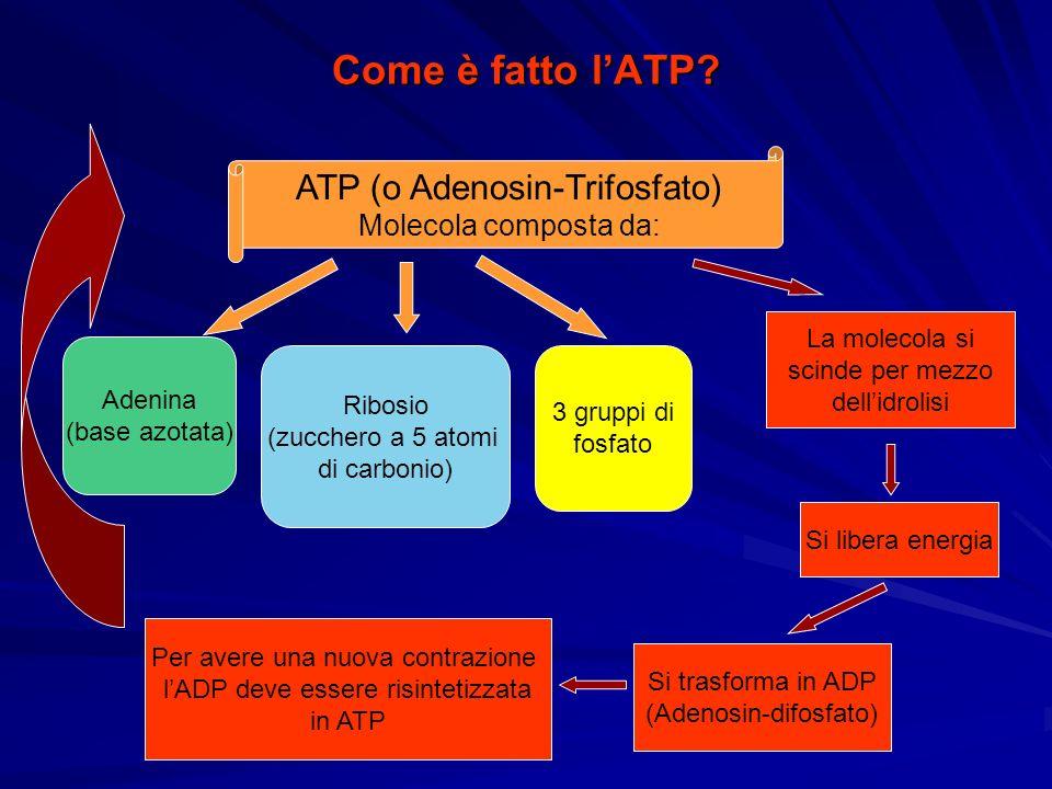 Come è fatto l'ATP ATP (o Adenosin-Trifosfato) Molecola composta da: