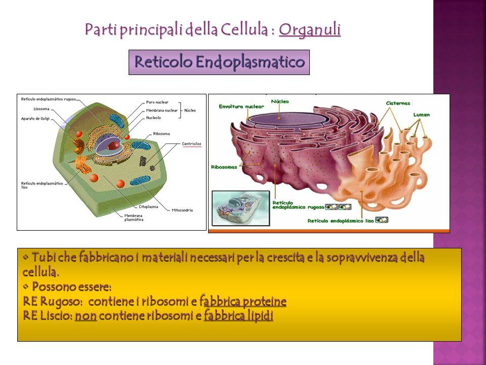 Parti principali della Cellula : Organuli Reticolo Endoplasmatico