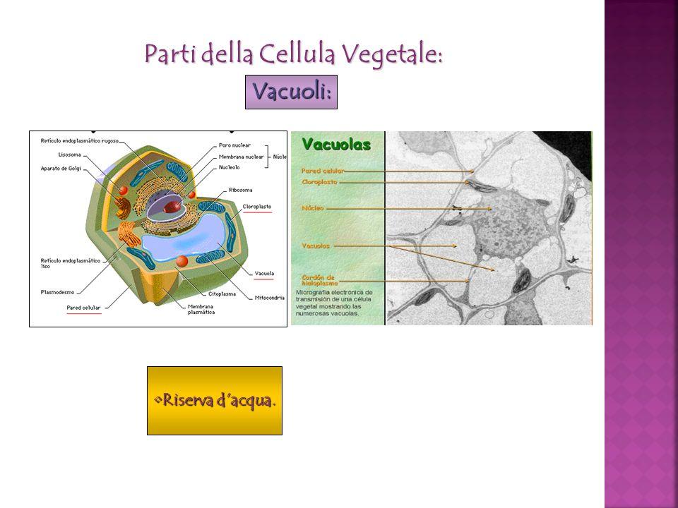 Parti della Cellula Vegetale: