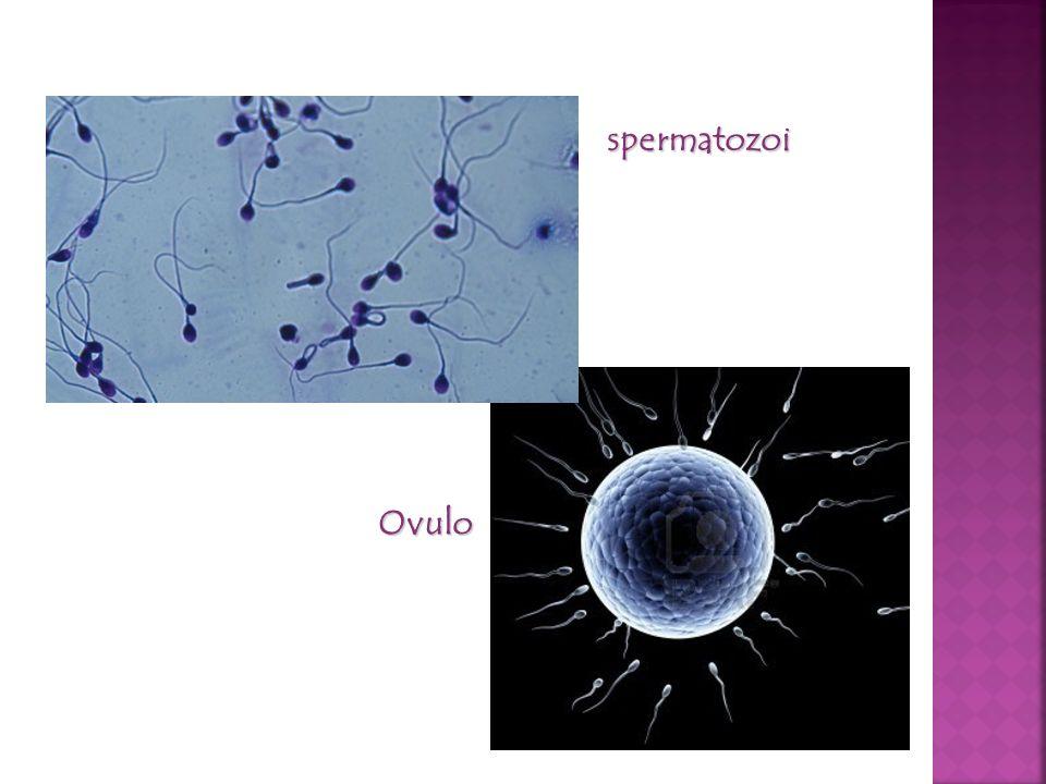 spermatozoi Ovulo