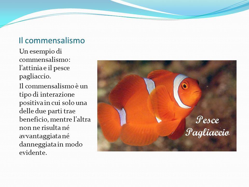 Il commensalismo Un esempio di commensalismo: l'attinia e il pesce pagliaccio.