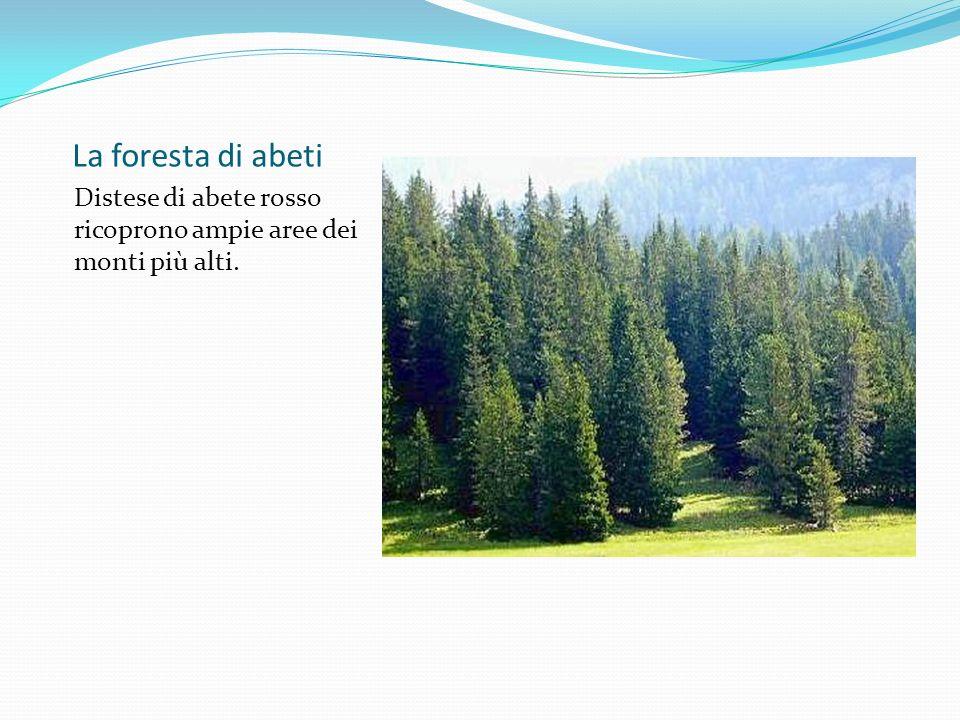 La foresta di abeti Distese di abete rosso ricoprono ampie aree dei monti più alti.