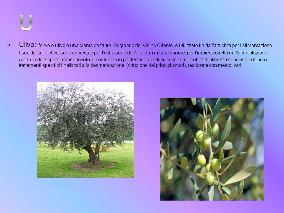 Ulivo:L olivo o ulivo è una pianta da frutto
