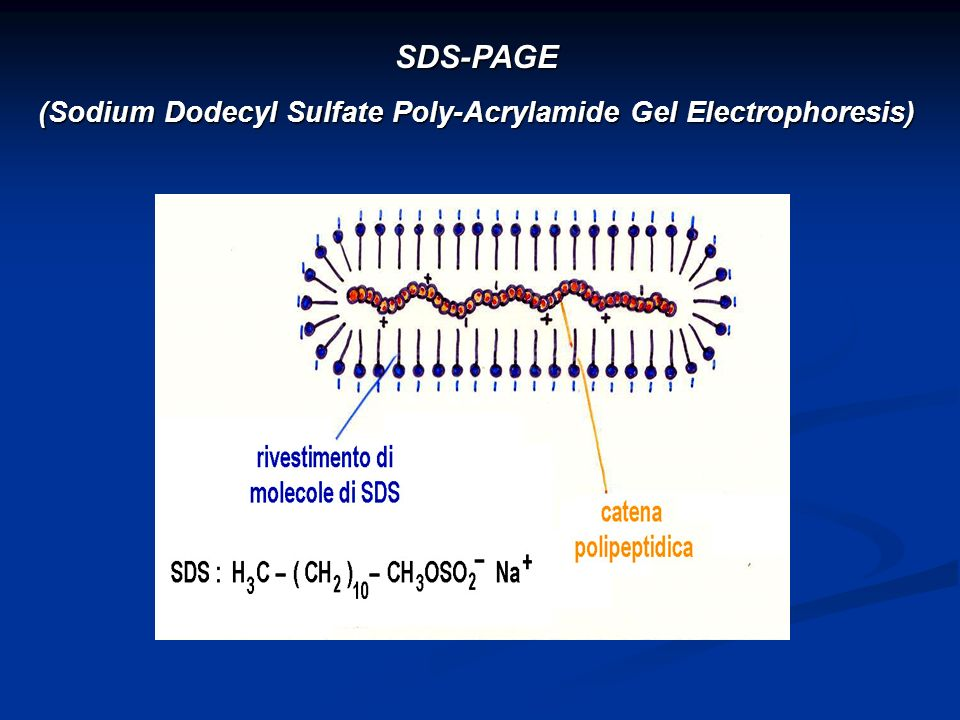 (Sodium Dodecyl Sulfate Poly-Acrylamide Gel Electrophoresis)