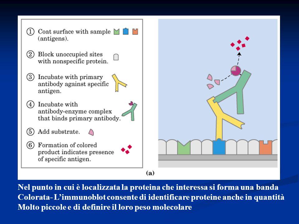Nel punto in cui è localizzata la proteina che interessa si forma una banda