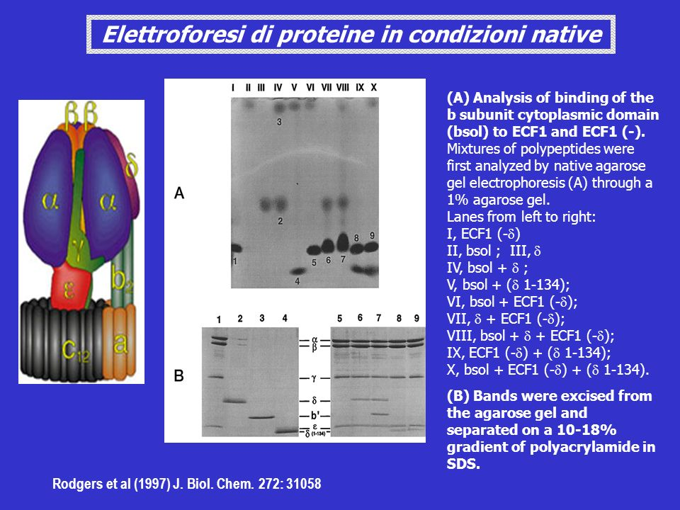 Elettroforesi di proteine in condizioni native
