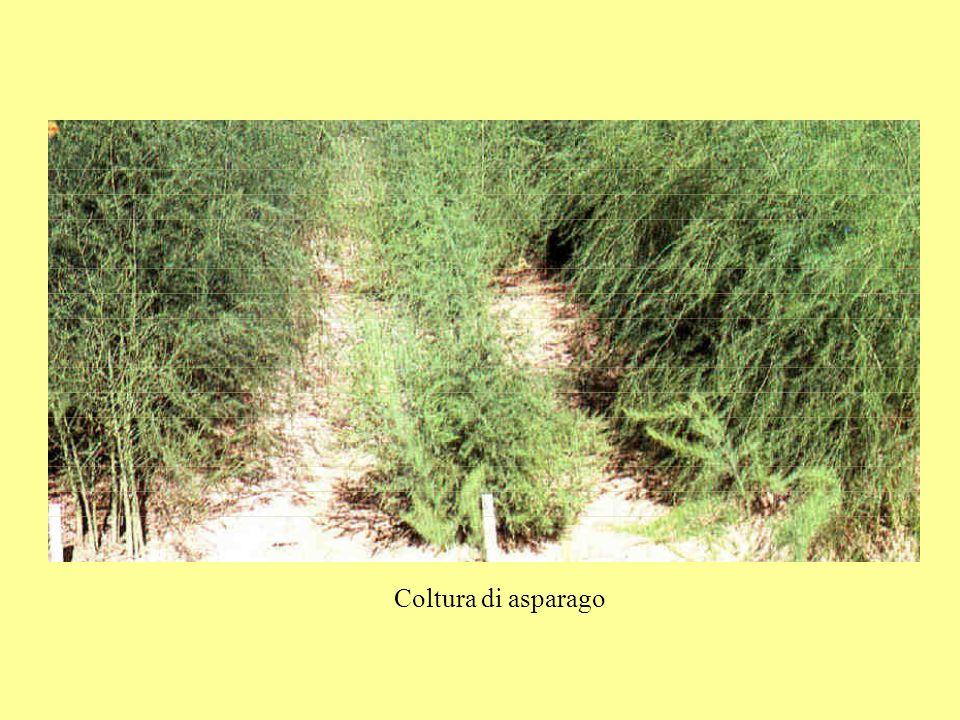Coltura di asparago