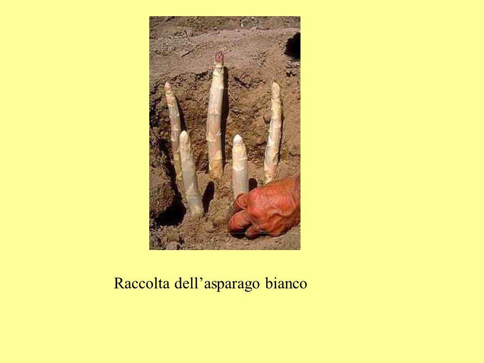 Raccolta dell'asparago bianco