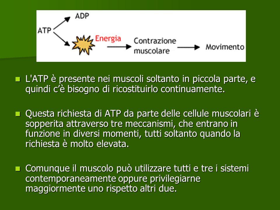 L ATP è presente nei muscoli soltanto in piccola parte, e quindi c'è bisogno di ricostituirlo continuamente.