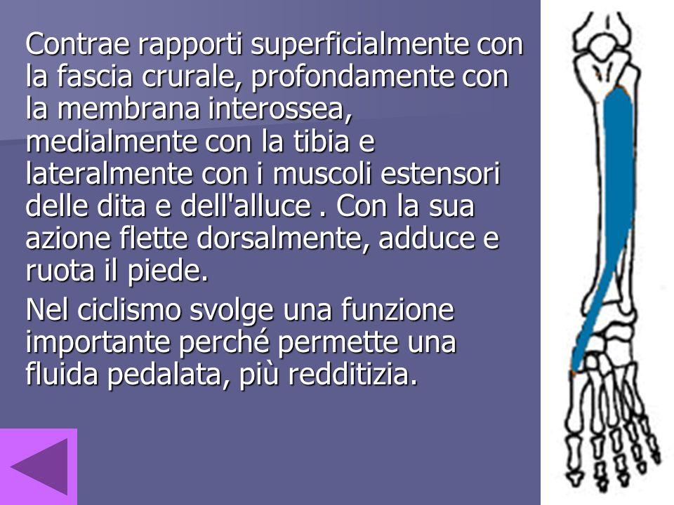 Contrae rapporti superficialmente con la fascia crurale, profondamente con la membrana interossea, medialmente con la tibia e lateralmente con i muscoli estensori delle dita e dell alluce . Con la sua azione flette dorsalmente, adduce e ruota il piede.