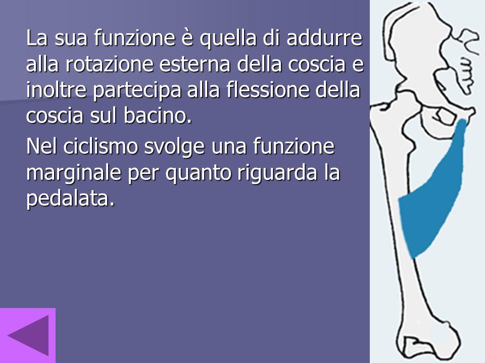 La sua funzione è quella di addurre alla rotazione esterna della coscia e inoltre partecipa alla flessione della coscia sul bacino.