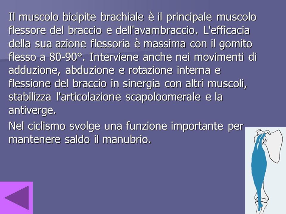 Il muscolo bicipite brachiale è il principale muscolo flessore del braccio e dell avambraccio. L efficacia della sua azione flessoria è massima con il gomito flesso a 80-90°. Interviene anche nei movimenti di adduzione, abduzione e rotazione interna e flessione del braccio in sinergia con altri muscoli, stabilizza l articolazione scapoloomerale e la antiverge.