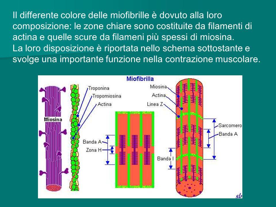 Il differente colore delle miofibrille è dovuto alla loro composizione: le zone chiare sono costituite da filamenti di actina e quelle scure da filameni più spessi di miosina.
