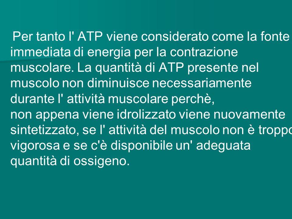 Per tanto l ATP viene considerato come la fonte immediata di energia per la contrazione muscolare. La quantità di ATP presente nel muscolo non diminuisce necessariamente durante l attività muscolare perchè,