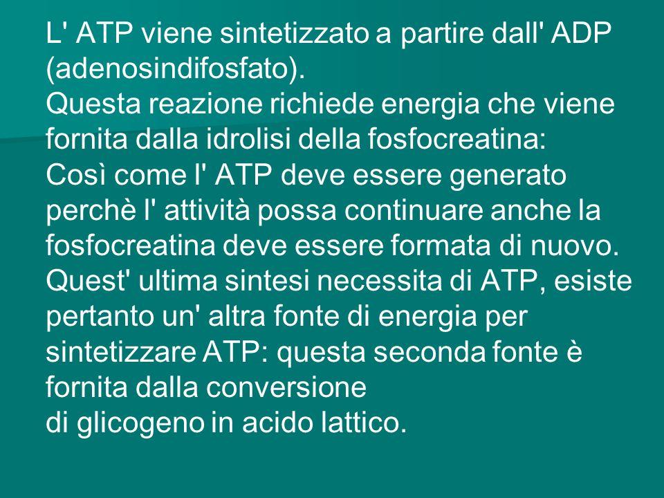 L ATP viene sintetizzato a partire dall ADP (adenosindifosfato).
