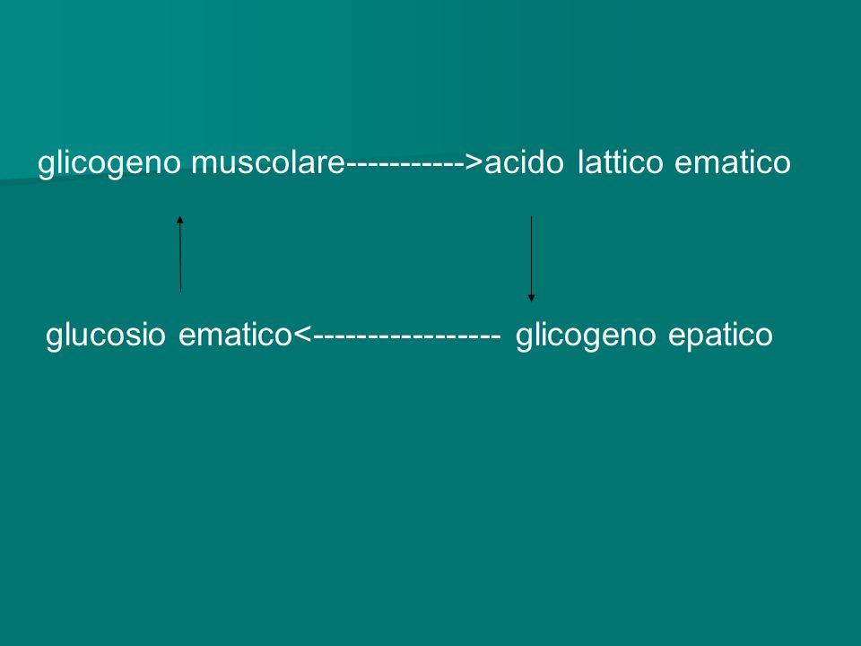 glicogeno muscolare----------->acido lattico ematico