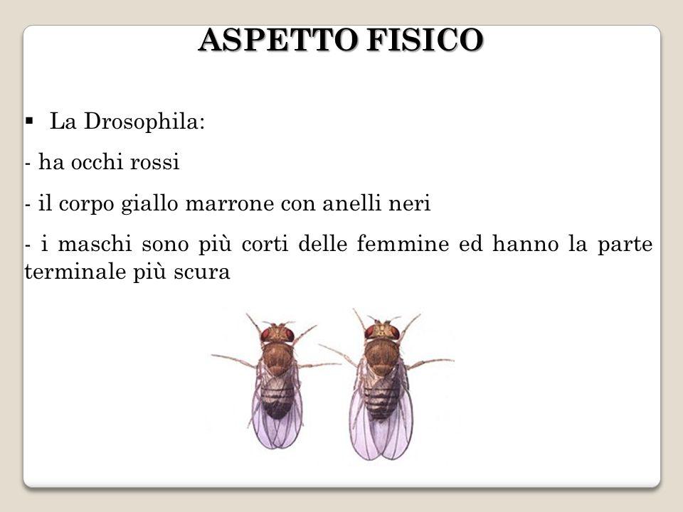 ASPETTO FISICO La Drosophila: ha occhi rossi